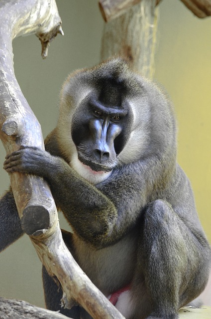 Ape in Nigeria