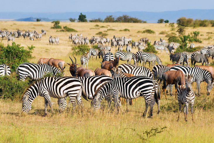 Zebra at Yankari Games Reserve, Bauchi
